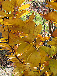 Dawyck Purple Beech (Fagus sylvatica 'Dawyck Purple') at Echter's Nursery & Garden Center