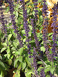 Mealy Cup Sage (Salvia farinacea) at Echter's Nursery & Garden Center