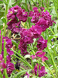 Stock (Matthiola incana) at Echter's Nursery & Garden Center