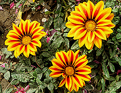Treasure Flower (Gazania rigens) at Echter's Nursery & Garden Center