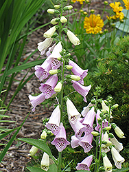 Foxy Foxglove (Digitalis purpurea 'Foxy') at Echter's Nursery & Garden Center