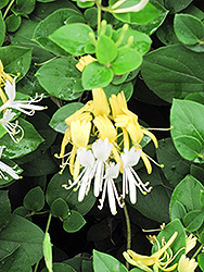 Hall's Japanese Honeysuckle (Lonicera japonica 'Halliana') at Echter's Nursery & Garden Center