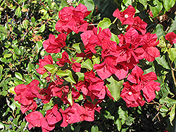 San Diego Red Bougainvillea (Bougainvillea 'San Diego Red') at Echter's Nursery & Garden Center