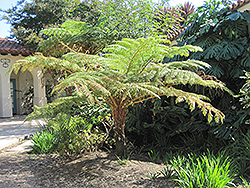 Australian Tree Fern (Cyathea cooperi) at Echter's Nursery & Garden Center
