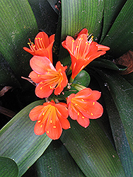 Belgian Hybrid Orange Clivia (Clivia x miniata 'Belgian Hybrid Orange') at Echter's Nursery & Garden Center