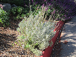 French Lavender (Lavandula dentata) at Echter's Nursery & Garden Center