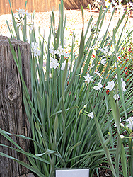 Paperwhites (Narcissus papyraceus) at Echter's Nursery & Garden Center
