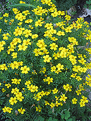 Lemon Gem Marigold (Tagetes tenuifolia 'Lemon Gem') at Echter's Nursery & Garden Center