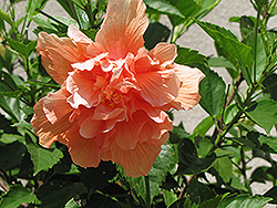 Double Peach Hibiscus (Hibiscus rosa-sinensis 'Double Peach') at Echter's Nursery & Garden Center
