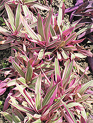Variegated Moses In The Cradle (Tradescantia spathacea 'Variegata') at Echter's Nursery & Garden Center
