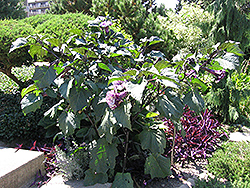 Purple Queen Devil's Trumpet (Datura metel 'Purple Queen') at Echter's Nursery & Garden Center