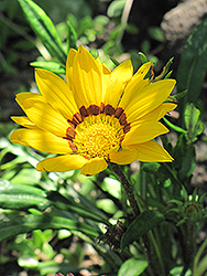 Kiss Golden Yellow Gazania (Gazania 'Kiss Golden Yellow') at Echter's Nursery & Garden Center