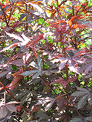 Carmencita Castor Bean (Ricinus communis 'Carmencita') at Echter's Nursery & Garden Center