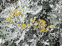 Silver Dust Dusty Miller (Senecio cineraria 'Silver Dust') at Echter's Nursery & Garden Center