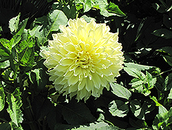 Kelvin Floodlight Dahlia (Dahlia 'Kelvin Floodlight') at Echter's Nursery & Garden Center
