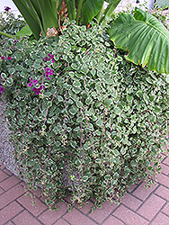 Swedish Ivy (Plectranthus forsteri 'Marginatus') at Echter's Nursery & Garden Center