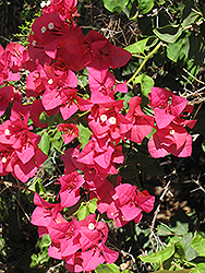 Barbara Karst Bougainvillea (Bougainvillea 'Barbara Karst') at Echter's Nursery & Garden Center
