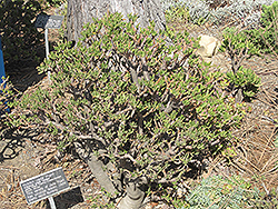 Hobbit Jade Plant (Crassula ovata 'Hobbit') at Echter's Nursery & Garden Center