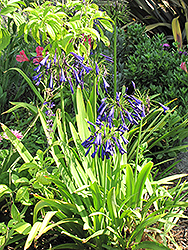 Storm Cloud Agapanthus (Agapanthus 'Storm Cloud') at Echter's Nursery & Garden Center
