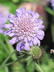 Butterfly Blue Pincushion Flower (Scabiosa 'Butterfly Blue') at Echter's Nursery & Garden Center