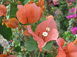 Orange King Bougainvillea (Bougainvillea 'Orange King') at Echter's Nursery & Garden Center
