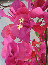 James Walker Bougainvillea (Bougainvillea 'James Walker') at Echter's Nursery & Garden Center