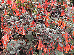 Gartenmeister Fuchsia (Fuchsia 'Gartenmeister Bonstedt') at Echter's Nursery & Garden Center