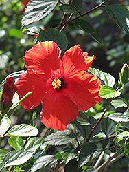 Brilliant Hibiscus (Hibiscus rosa-sinensis 'Brilliant') at Echter's Nursery & Garden Center