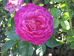 Outta The Blue Rose (Rosa 'Outta The Blue') at Echter's Nursery & Garden Center
