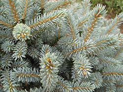 Horstmann Colorado Spruce (Picea pungens 'Horstmann') at Echter's Nursery & Garden Center