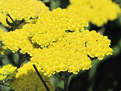 Moonshine Yarrow (Achillea 'Moonshine') at Echter's Nursery & Garden Center