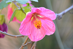 Pink Flowering Maple (Abutilon 'Pink') at Echter's Nursery & Garden Center