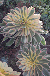 Sunburst Aeonium (Aeonium 'Sunburst') at Echter's Nursery & Garden Center
