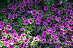 Supertunia® Picasso In Purple® Petunia (Petunia 'Supertunia Picasso In Purple') at Echter's Nursery & Garden Center