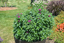 Pardon My Purple Beebalm (Monarda didyma 'Pardon My Purple') at Echter's Nursery & Garden Center