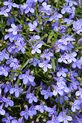 Hot® Waterblue Lobelia (Lobelia 'Hot Waterblue') at Echter's Nursery & Garden Center