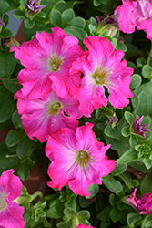 Panache™ Tickled Pink Petunia (Petunia 'Panache Tickled Pink') at Echter's Nursery & Garden Center