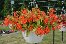 Waterfall® Encanto Orange® Begonia (Begonia boliviensis 'Encanto Orange') at Echter's Nursery & Garden Center