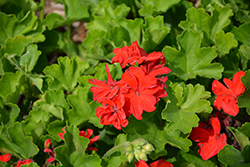 Calliope® Large Scarlet Fire Geranium (Pelargonium 'Calliope Large Scarlet Fire') at Echter's Nursery & Garden Center