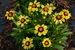 UpTick™ Yellow and Red Tickseed (Coreopsis 'Baluptowed') at Echter's Nursery & Garden Center
