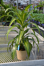 Hawaiian Sunshine Dracaena (Dracaena fragrans 'Hawaiian Sunshine') at Echter's Nursery & Garden Center
