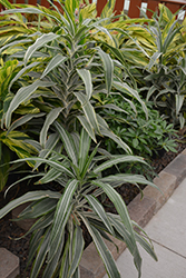 Warneckii Dracaena (Dracaena fragrans 'Warneckii') at Echter's Nursery & Garden Center