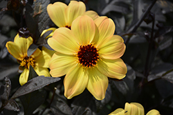 Mystic Illusion Dahlia (Dahlia 'Knockout') at Echter's Nursery & Garden Center