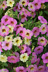 Chameleon™ Lemon Berry Calibrachoa (Calibrachoa 'Wescachalebe') at Echter's Nursery & Garden Center