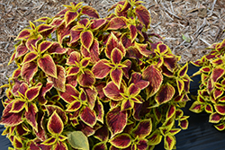 Premium Sun Crimson Gold Coleus (Solenostemon scutellarioides 'Crimson Gold') at Echter's Nursery & Garden Center