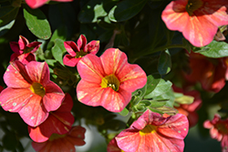 Superbells® Tropical Sunrise Calibrachoa (Calibrachoa 'INCALTRSUN') at Echter's Nursery & Garden Center