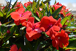 Magnum Red Flame New Guinea Impatiens (Impatiens 'Magnum Red Flame') at Echter's Nursery & Garden Center