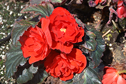 Nonstop® Mocca Red Begonia (Begonia 'Nonstop Mocca Red') at Echter's Nursery & Garden Center