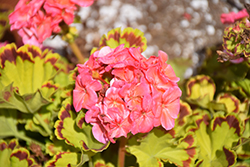 Glitterati™ Diva Queen Geranium (Pelargonium 'Glitterati Diva Queen') at Echter's Nursery & Garden Center