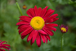 Robinson's Red Painted Daisy (Tanacetum coccineum 'Robinson's Red') at Echter's Nursery & Garden Center
